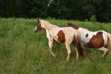 Quarter Horse 17