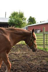 Quarter Horse 18