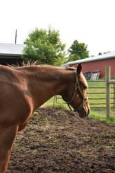 Quarter Horse 15