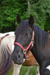 Quarter Horse 16