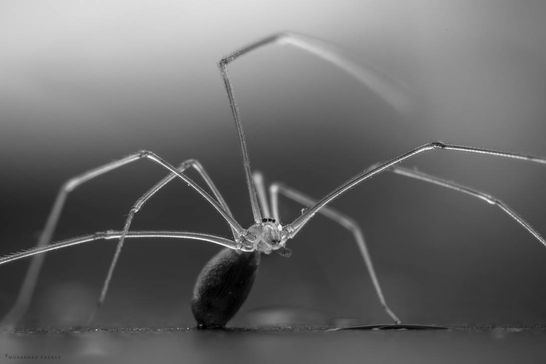 LONG BODIED CELLAR SPIDER by MohannadKassab