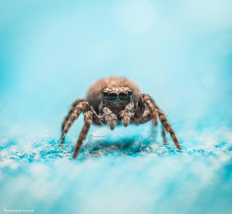Female jumping spider by MohannadQassab