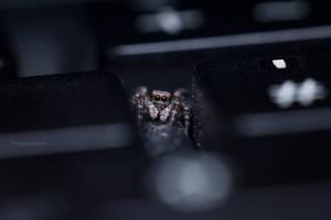 Jumping Spider between Keyboard buttons by MohannadKassab