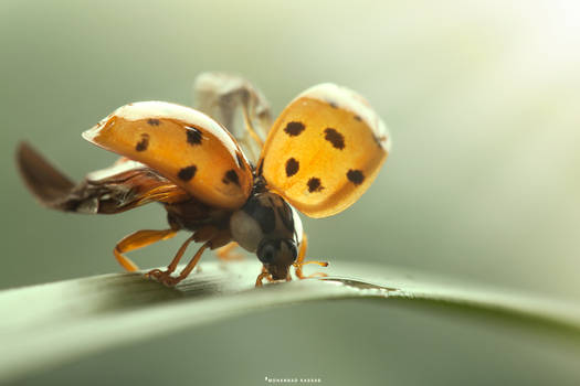Magic of Lady-Bug by MohannadKassab