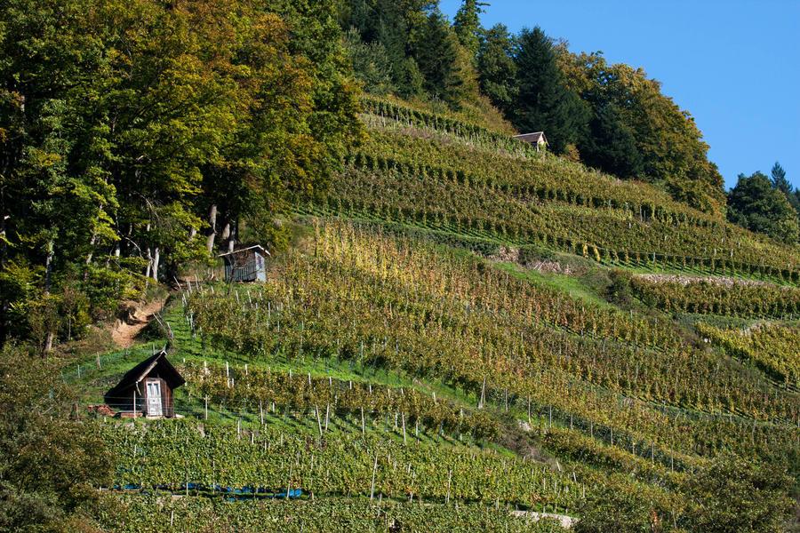 Glottertal vineyard by malaskor