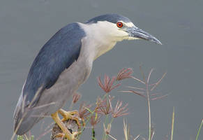Black Crowned Night Heron by Geotripper