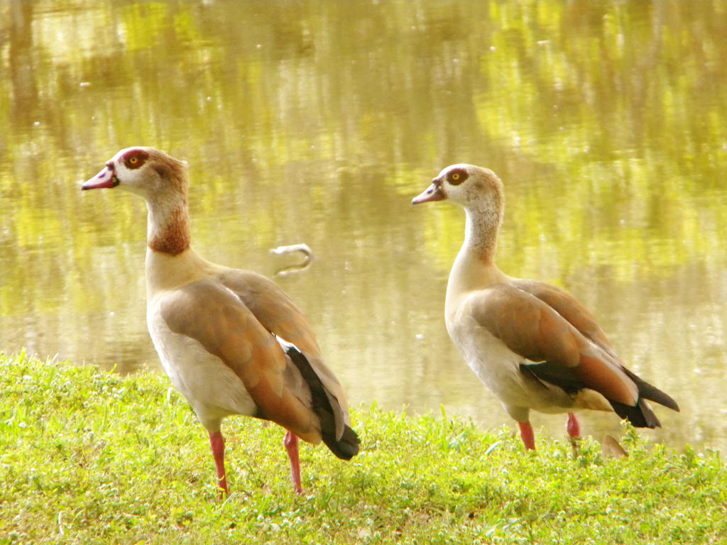 Beautiful Geese By PinkyMaggie On DeviantArt