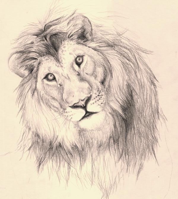 Lion sketch by Kushen