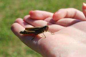 Grasshopper HD II