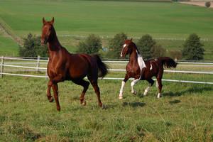 American Saddlebred Stock 1 by LuDa-Stock