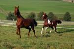 American Saddlebred Stock 1