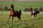 American Saddlebred Stock 2