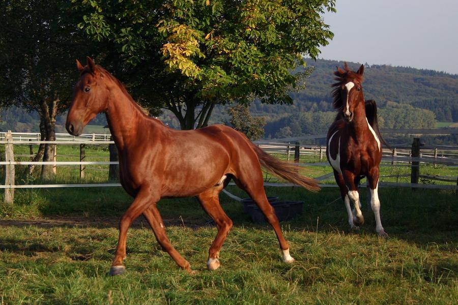 American Saddlebred Stock 10 by LuDa-Stock
