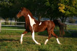 American Saddlebred Stock 12