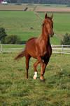 American Saddlebred Stock 23