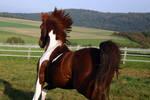 American Saddlebred Stock 24