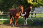 American Saddlebred Stock 29