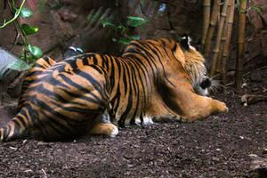 Sumatran Tiger Stock 1 by LuDa-Stock