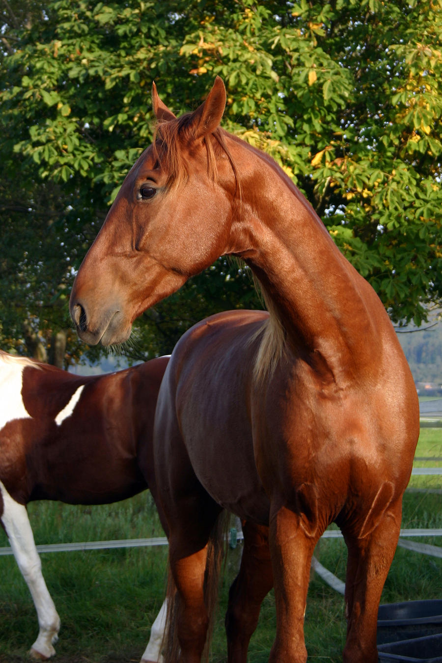American Saddlebred Stock 59 by LuDa-Stock