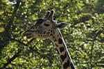 Giraffe Stock 2