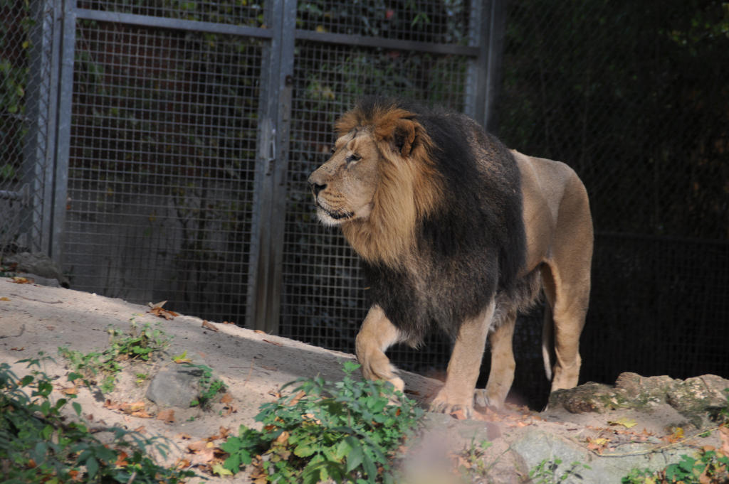 Lion King Stock