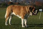 Saint Bernard Dog Stock 2