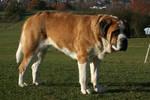 Saint Bernard Dog Stock 3