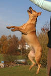 Terrier Mix Dog Jumping