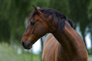 Bay Horse Portrait Stock by LuDa-Stock