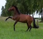 Bay Horse Spanish Walk Stock