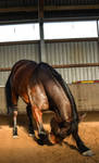 Free Dressage- Deep Bow Front 2066