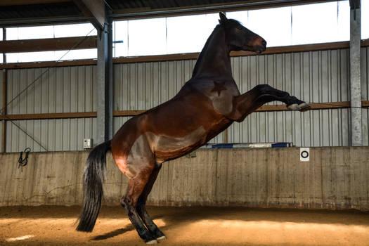 Free Dressage - Bay Horse Rearing