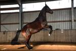Free Dressage Bay Horse Rearing