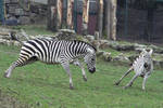 Zebra Stock II 79