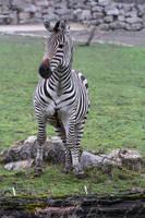 Zebra Stock II 37 by LuDa-Stock