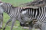 Zebra Stock II 24 by LuDa-Stock