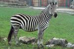 Zebra Stock II 106 by LuDa-Stock