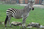 Zebra Stock II 106