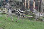Zebra Stock II 98