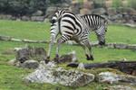 Zebra Stock II 94