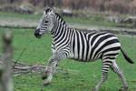 Zebra Stock II 93