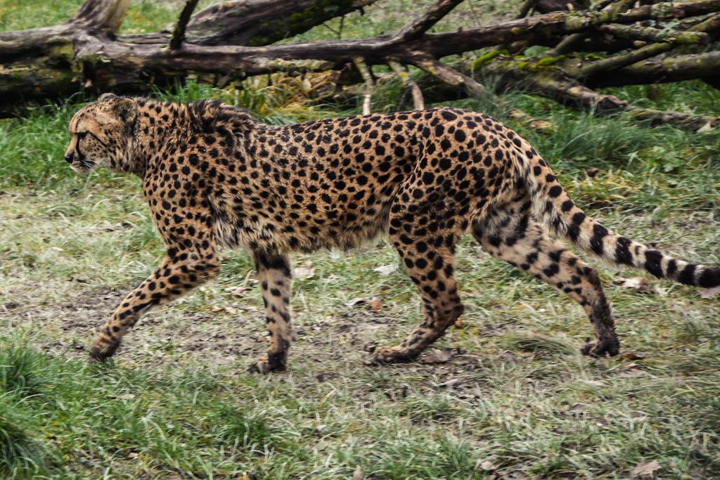 Cheetah Stock 16 by LuDa-Stock