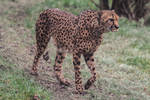 Cheetah Stock 12