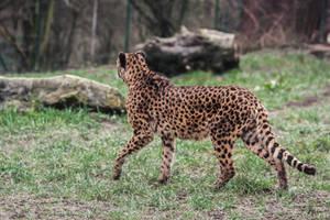Cheetah Stock 33 by LuDa-Stock