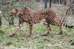 Cheetah Stock 32