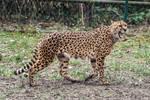 Cheetah Stock 31