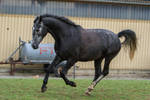 Grey Warmblood Cantering on Pasture