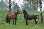Grey and Bay Warmbloods Playing