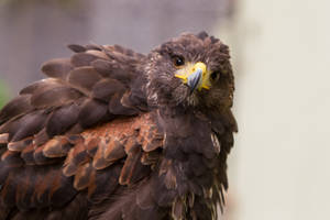 Harris Hawk Portrait Stock by LuDa-Stock