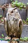 Eagle Owl Stock